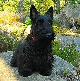 Scottie//Scottish Terrier Dog Square Greeting Card Fathers Day Birthday