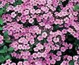 Soapwort Seeds Saponaria Officinalis 100 Seeds