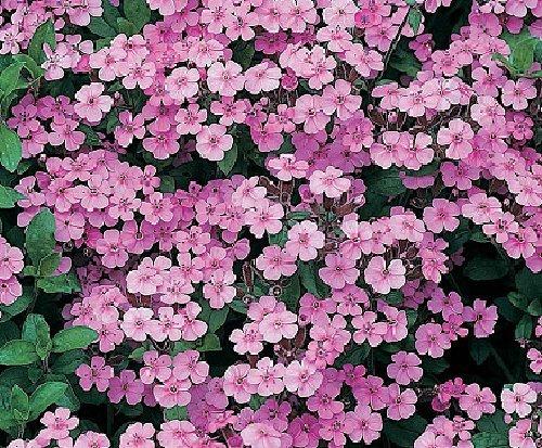 soapwort-seeds-saponaria-officinalis-100-seeds