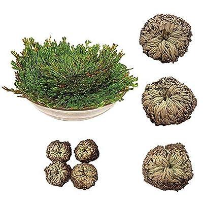 2pcs Magic Plant Air Fern Selaginella Blubs Moss Resurrection Rose of Jericho Dinosaur Dry Bonsai Plants DIY Home Garden Bonsai : Garden & Outdoor