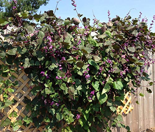 25 Non-GMO Delicious Chinese Red Angel Hyacinth Bean Seeds Beautiful Flower