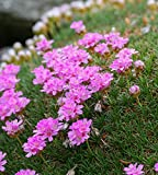 Armeria juniperifolia Spanish Thrift - Light Pink