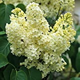 Primrose Yellow French Lilac (Syringa) - Live Plant - Quart Pot