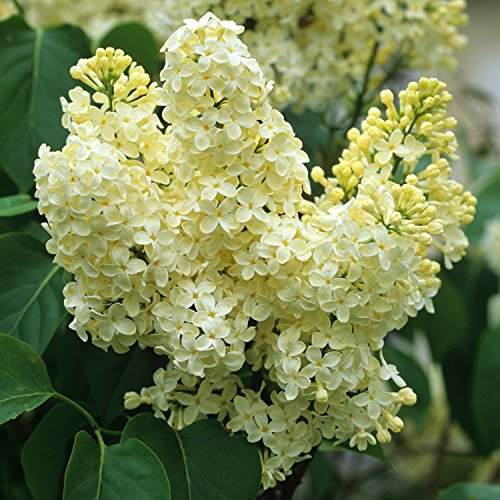 Primrose Yellow French Lilac (Syringa) - Live Plant - Quart Pot by New Life Nursery & Garden