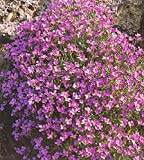 Aubrieta hibrida Pink Flower Seeds from Ukraine