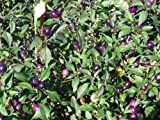 Very Hot Pretty Purple Pepper 4 Plants - EDIBLE/ORNAMENTAL