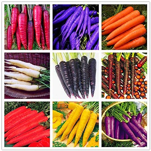 Agrobits 2 Egrow 500 P Paquete Semillas De Zanahoria De Colores Rojo Paºrpura Blanco Origanic Saludables Amazon Es Jardin Subespecie sativus, la zanahoria, pertenece a la familia de las umbelíferas, también denominadas apiáceas. egrow 500 p paquete semillas