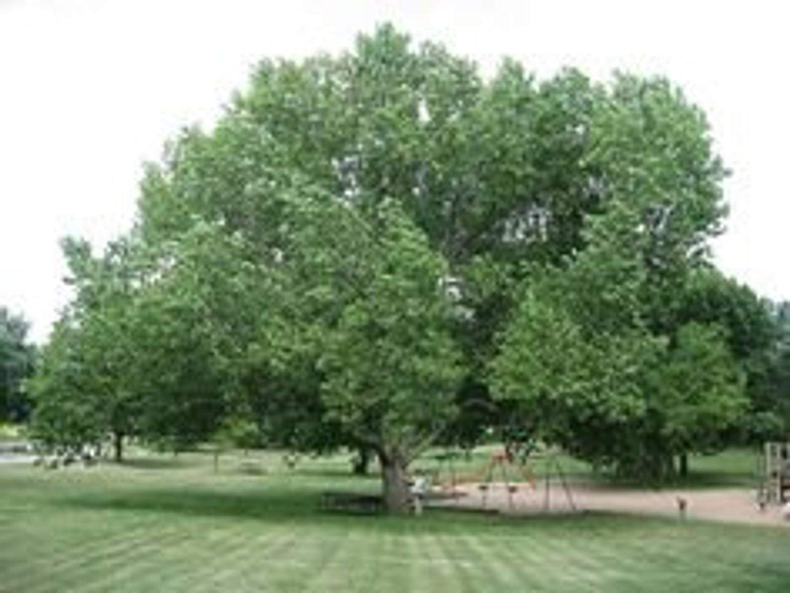 Cottonwood Tree, 1 Gallon Potted Plant, Populus Fremontii, Healthy Plant, Strong Roots, Shade Tree, Strong Branches, Beautiful Fall Colors (No California Washington, Oregon, Colorado, Idaho, Nevada)