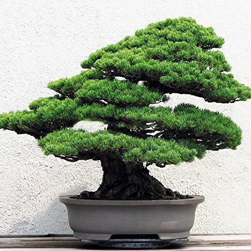 Pine Tree Bonsai White (Solution Seeds Farm New Rare 50 Seeds Heirloom Japanese White Spruce Pine Bonsai Seeds, Pinus Parviflora, Tree Seeds Bonsai Evergreen DIY Home Gardening ! (Not Plants or Tree))