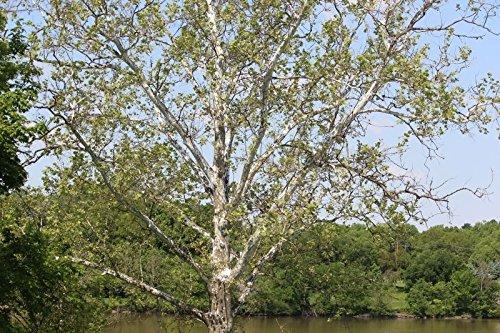 1 American Sycamore tree -Platanus occidentalis- 2 to 3 feet