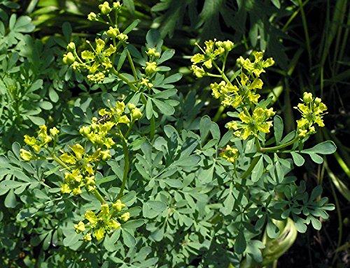 Seeds Herb Rue Russian Heirloom