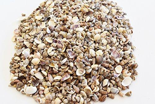 (2 Lbs (3000+) Tiny Indian Ocean Shell Mix Mini Shells 1/4