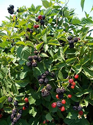 Blackberry Triple Crown Plants-Garden- Fruit-Thorn-less-Bare Root-Live Plant-3 pk by Grower's Solution
