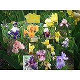 1/2 BU Bulbs of Bearded Iris bulk Mixed