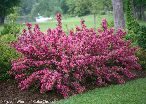 Proven Winners - Weigela Flordia Sonic Bloom Pink (Reblooming Weigela) Shrub, Pink Flowers, #3 - Size Container by Green Promise Farms (Image #4)