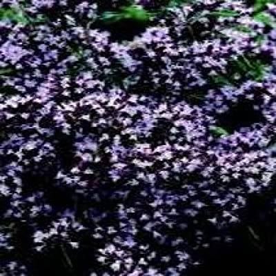 Herb Seeds - Marjoram Pot - 1000 Seeds