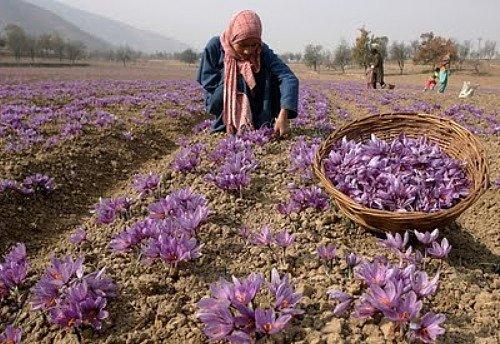 51ab9ed3945efe Amazon.com   Saffron Crocus 25 Bulbs + Saffron Bulb Food - Crocus Sativus  -Immediate Shipping   Crocus Plants   Garden   Outdoor