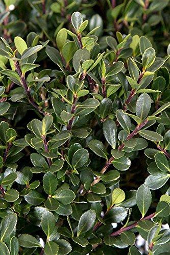 Ilex Compacta Japanese Holly (Ornamental, Bush, Green Foliage), 2.5 Quart