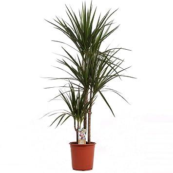 Dracaena Marginata 90 Cm Drachenbaum Zimmerpflanze Amazon De Garten