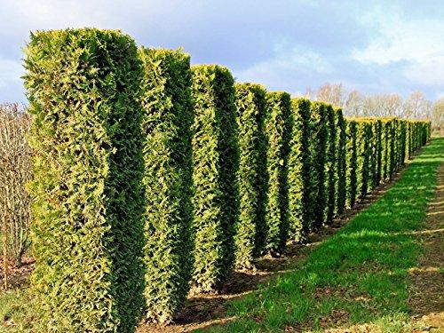 Platz 4 – Abendländischer Lebensbaum 'Brabant' – Thuja occidentalis 'Brabant' – Ballenware 125-150 cm – Garten von Ehren®