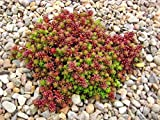 succulent ground cover Sedum Seeds (album Coral Carpet) white stonecrop,drought tolerant, low-growing, (500 Seeds)