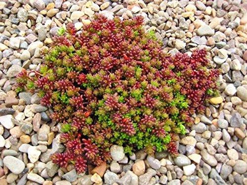 Sedum Seeds (album Coral Carpet) white stonecrop,drought tolerant, low-growing, (500 Seeds)