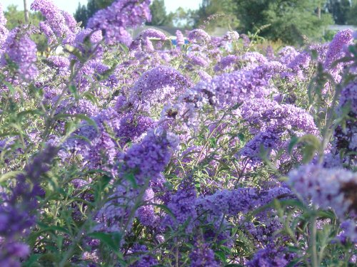 Nanho Blue Butterfly Bush - Live Plant Shipped 1-2 Feet Tall (No California)