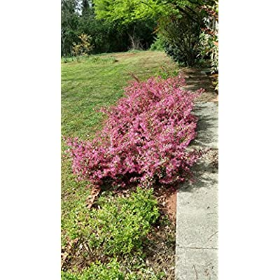 (1 Gallon) Daruma LOROPETALUM-Dwarf, Compact Shrub with Gorgeous Burgandy Foliage : Garden & Outdoor