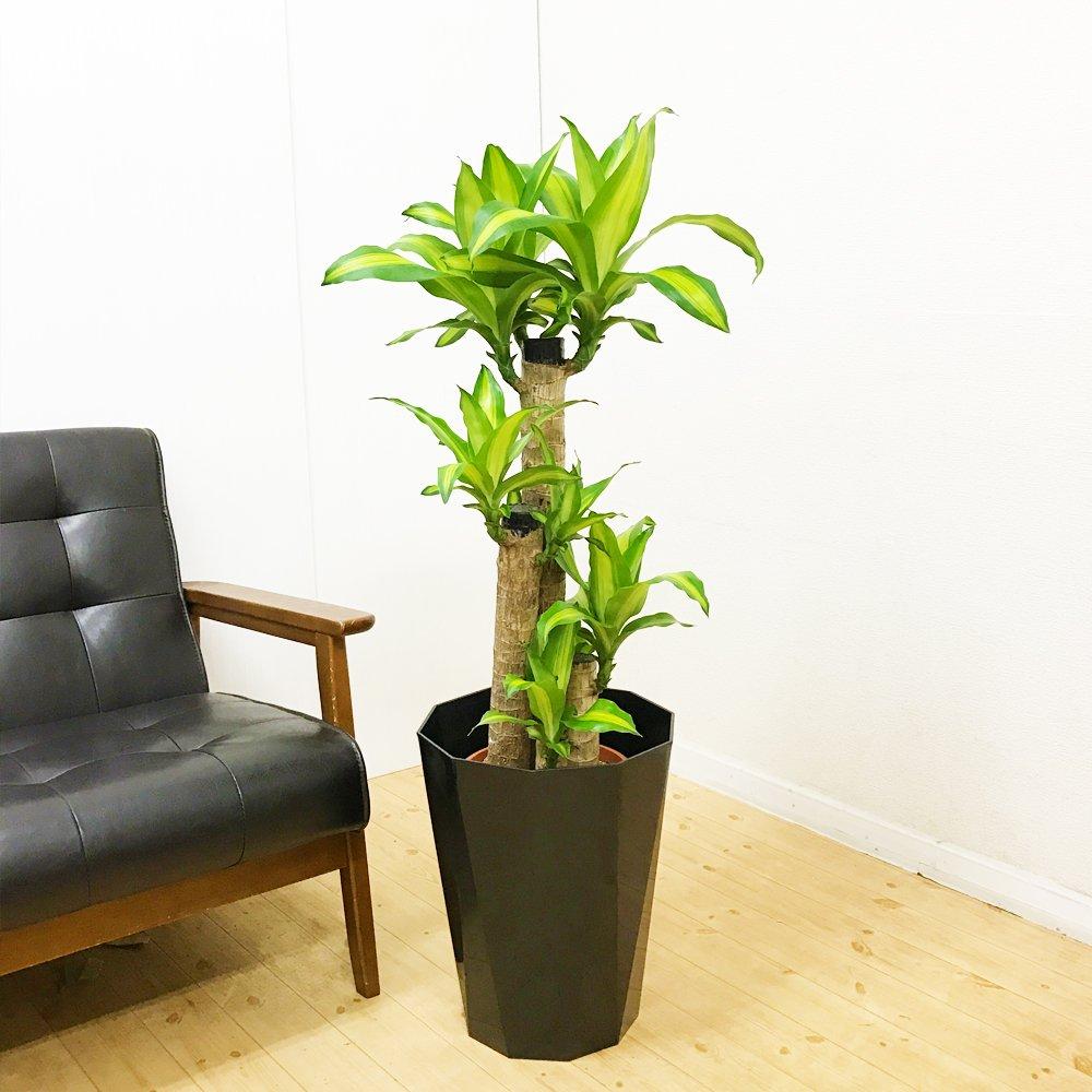 幸福の木 マッサン スタイリッシュな黒色鉢カバー付 8号 観葉植物 インテリア 中型 大型 お祝い 自宅用 プレゼント B01LXR554C