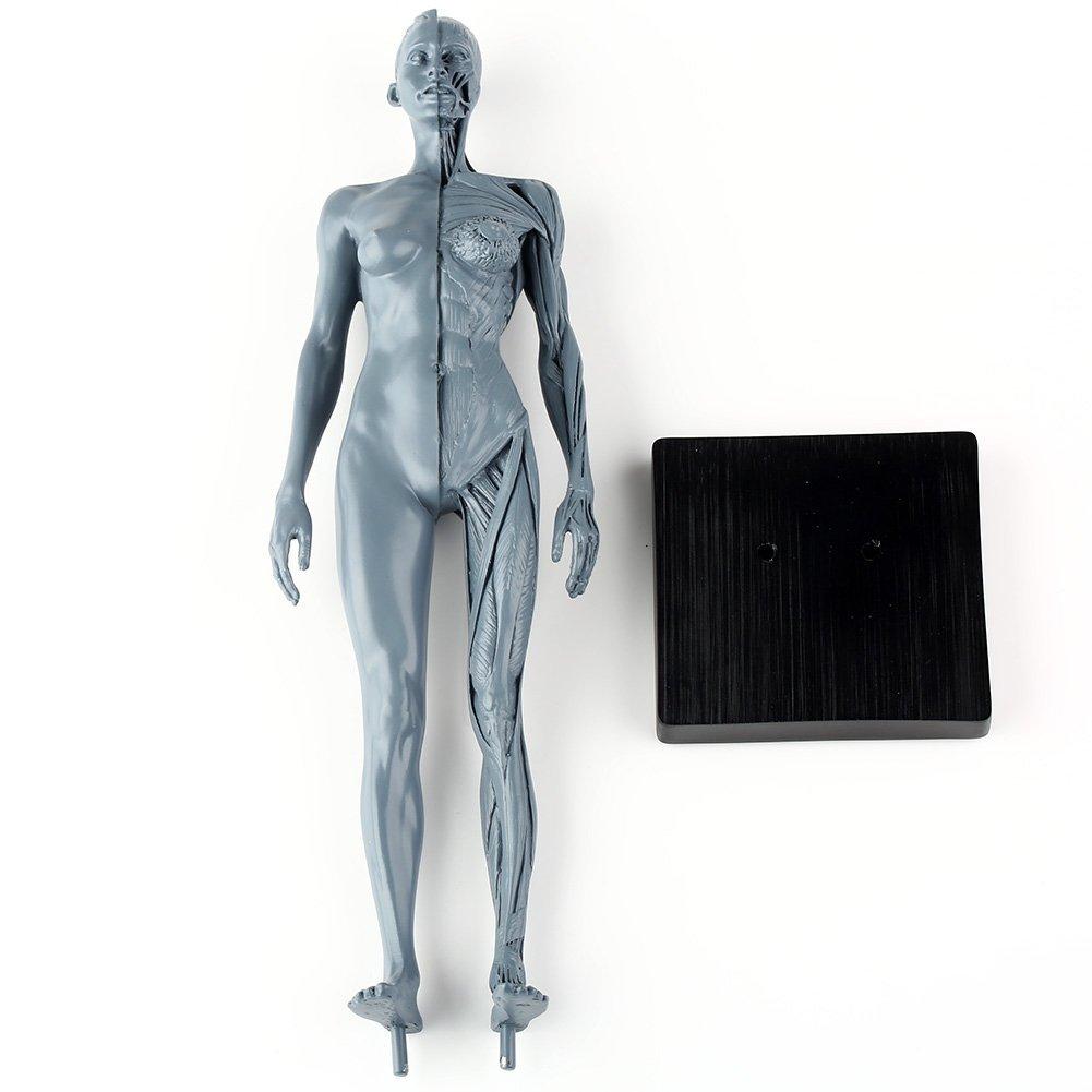 Gemütlich Muskelsystem überblick Galerie - Menschliche Anatomie ...