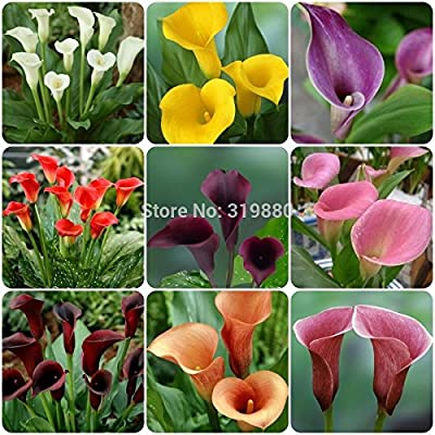 Hot Sale!!! (50 pieces/lot) Callaseeds Lily seeds,common callalily,planting seasons, flowering plants for home garden bonsai