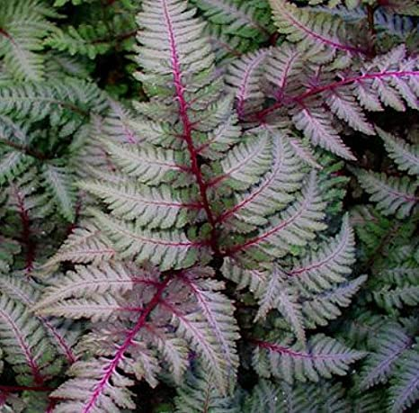 Athyrium pictum /'Regal Red/' An elegant and eye catching hardy fern 1L pot.