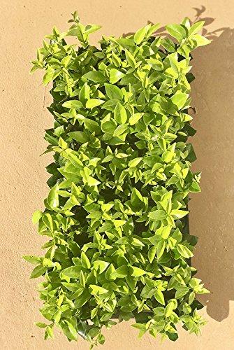 Ligustrum Waxleaf Privet - 60 Live Plants 2'' Pot Size - Evergreen Privacy Hedge by Florida Foliage (Image #2)