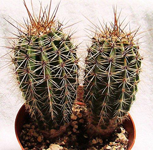 Cactus Saguaro (CARNEGIEA GIGANTEA SAGUARO CACTUS LARGE APRX. 5-7 INCHES SEED GROWN)