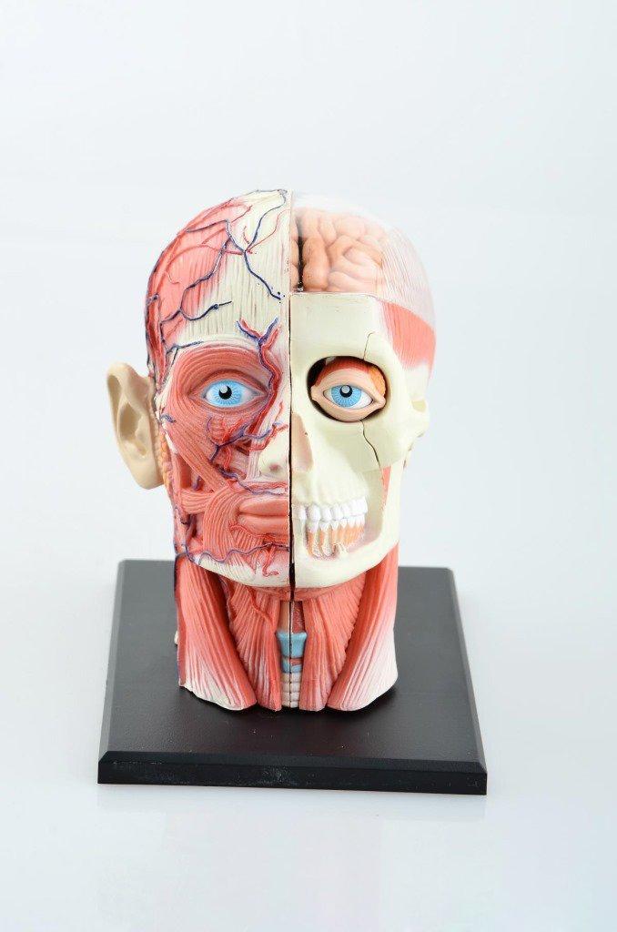dentallabore 14 Teile Puzzle 4D menschlichen Kopf Anatomie Modell ...