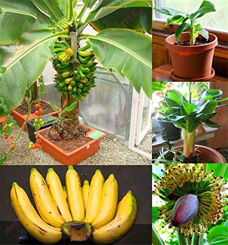 200 PC semillas de plátano, árboles frutales enanos, el sabor de la leche, semillas al aire libre perenne fruta para plantas de jardín: Amazon.es: Jardín