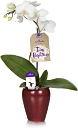 Hallmark Flowers Holiday Petite White Orchid in 2.5-Inch Ceramic Container, Wine Red