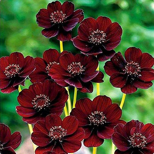 Narutosak 100Pcs Rare Chocolate Cosmos Seeds Cosmos Bipinnatus Calliopsis Garden Flower