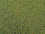 1 Cup (10,000+ Plants) Live Giant Duckweed (Spirodela polyrhiza)