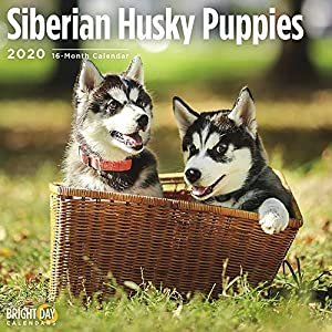 2020 Siberian Husky Puppies Wall Calendar by Bright Day, 16 Month 12 x 12 Inch, Cute Dogs Puppy Animals Chukcha Canine 11