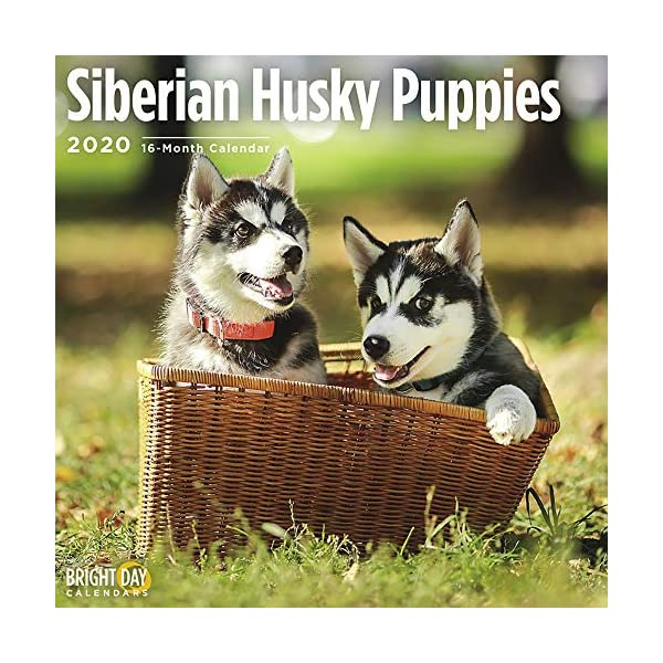 2020 Siberian Husky Puppies Wall Calendar by Bright Day, 16 Month 12 x 12 Inch, Cute Dogs Puppy Animals Chukcha Canine 1