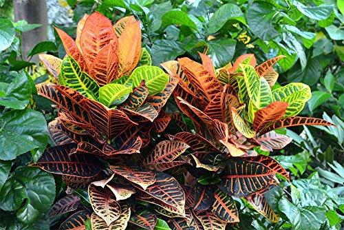AMPLEX Petra Croton Live Plant, 1 Gallon, Indoor/Outdoor by AMPLEX (Image #3)