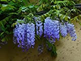 Blue Moon Wisteria Vine - Live Plant - Quart Pot