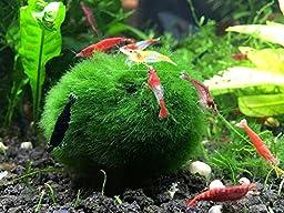 10 Marimo Moss Balls by Aquatic Arts, 1 inch