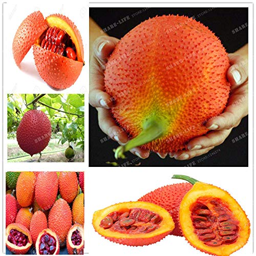 20 Pcs GAC FRUIT,Momordica cochinchensis,Herb and Vegetables from Thailand
