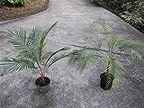 10 Seeds Lytocaryum weddellianum Miniature Coconut Palm