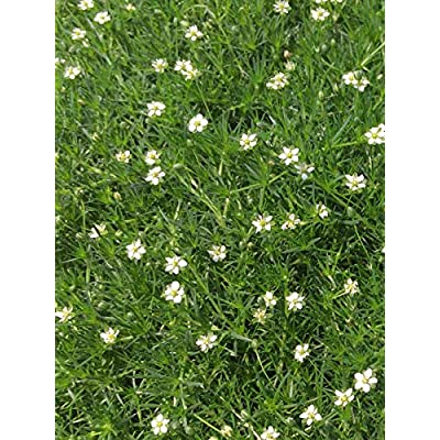 Perennial Farm Marketplace Sagina subulata (Irish Moss) Groundcover, 1 Quart, White Flowers : Garden & Outdoor