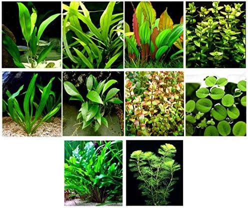 Cryptocoryne Wendtii /'marrón/' primer Plano planta acuática