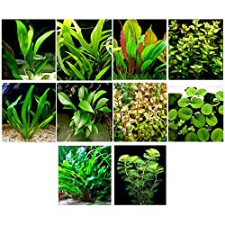 35 Live Aquarium Plants/10 Different Kinds - Custom Combo (Amazon Swords, Java Fern, Anubias, Ludwigia, Cabomba, Cryptocoryne and much more!) Great plant sampler for 25-35 gal tanks!