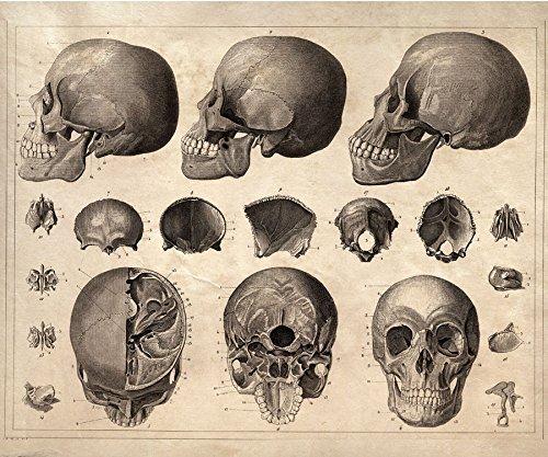 Amazon 16 X 20 Vintage Anatomy Skulls Poster Human Diagram